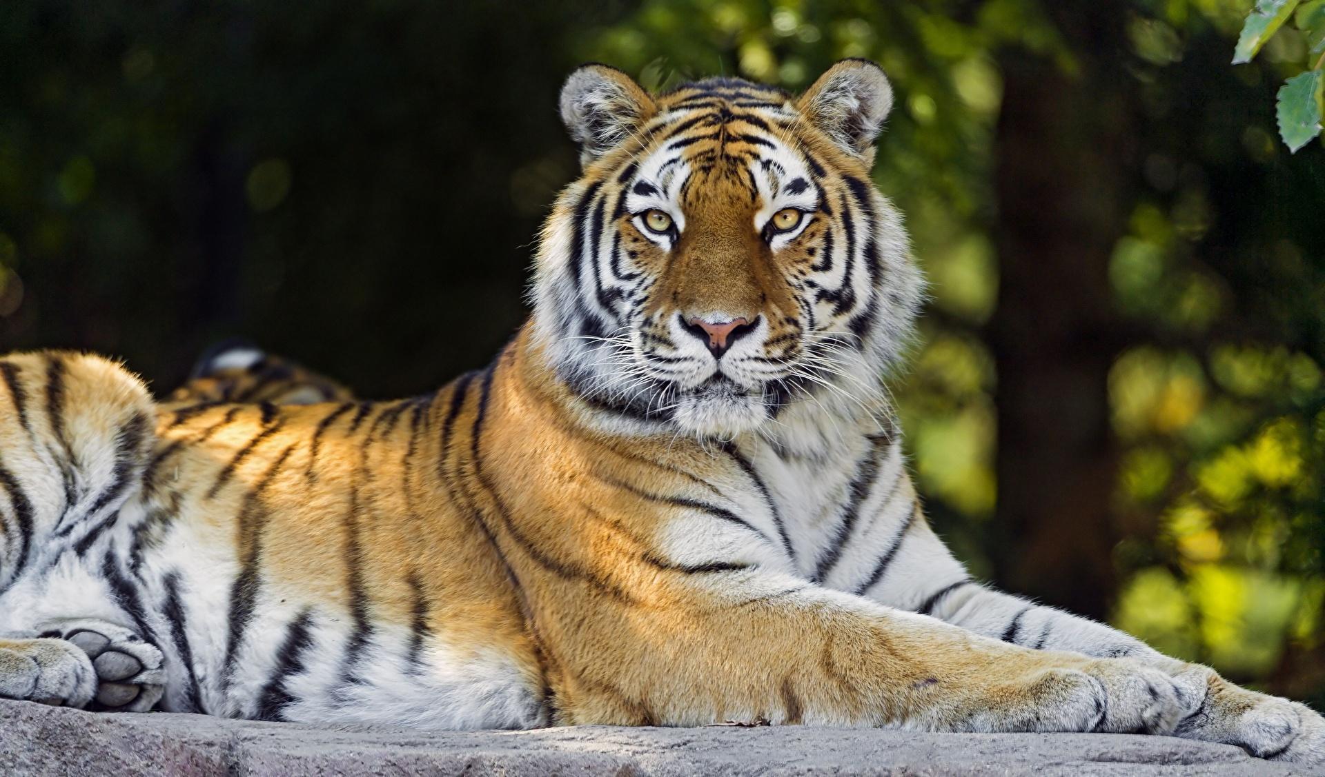 Тигр под пальмой тигр взгляд вверх  № 2081255 бесплатно
