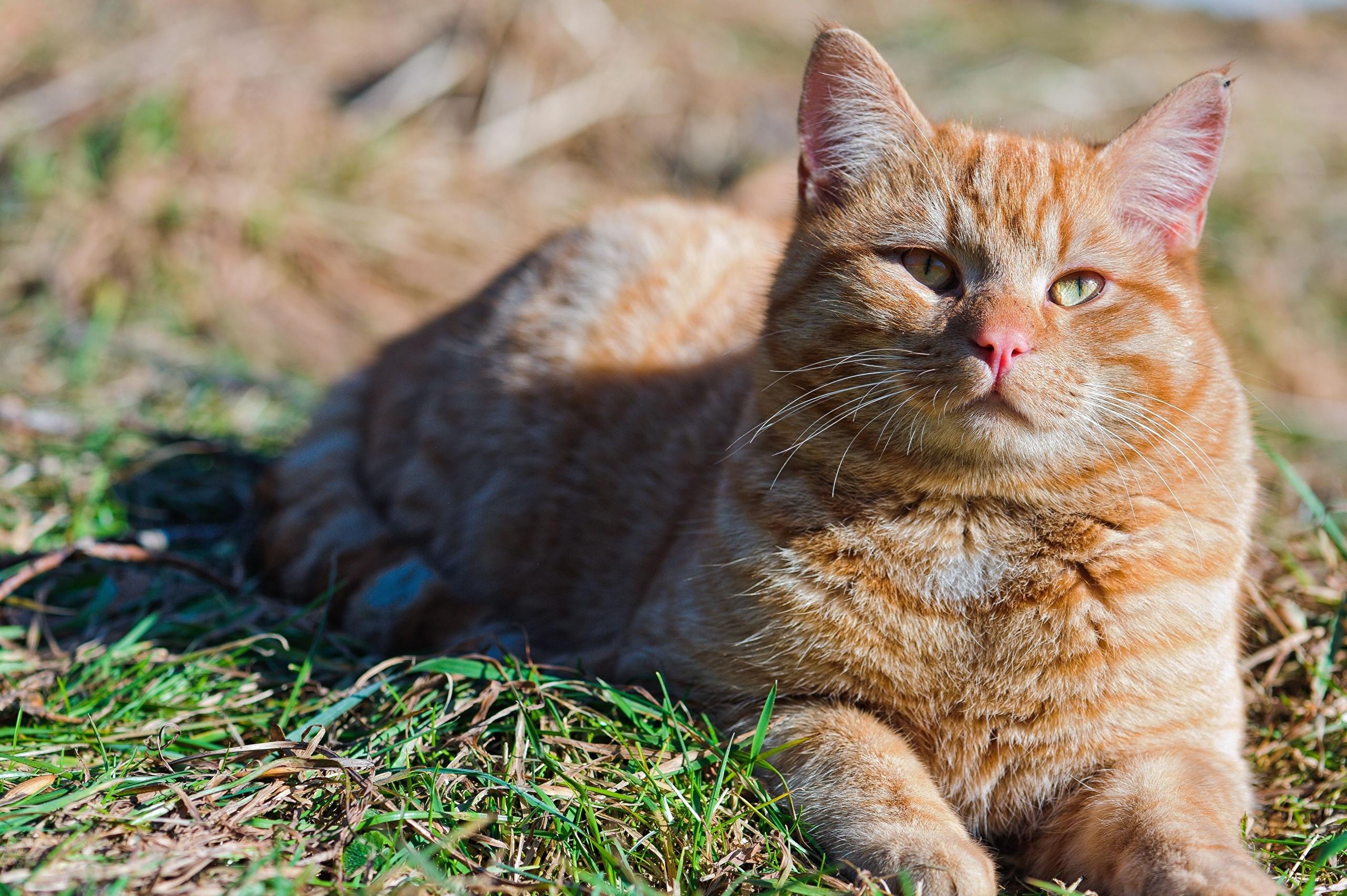 природа животные рыжий кот  № 941004 загрузить