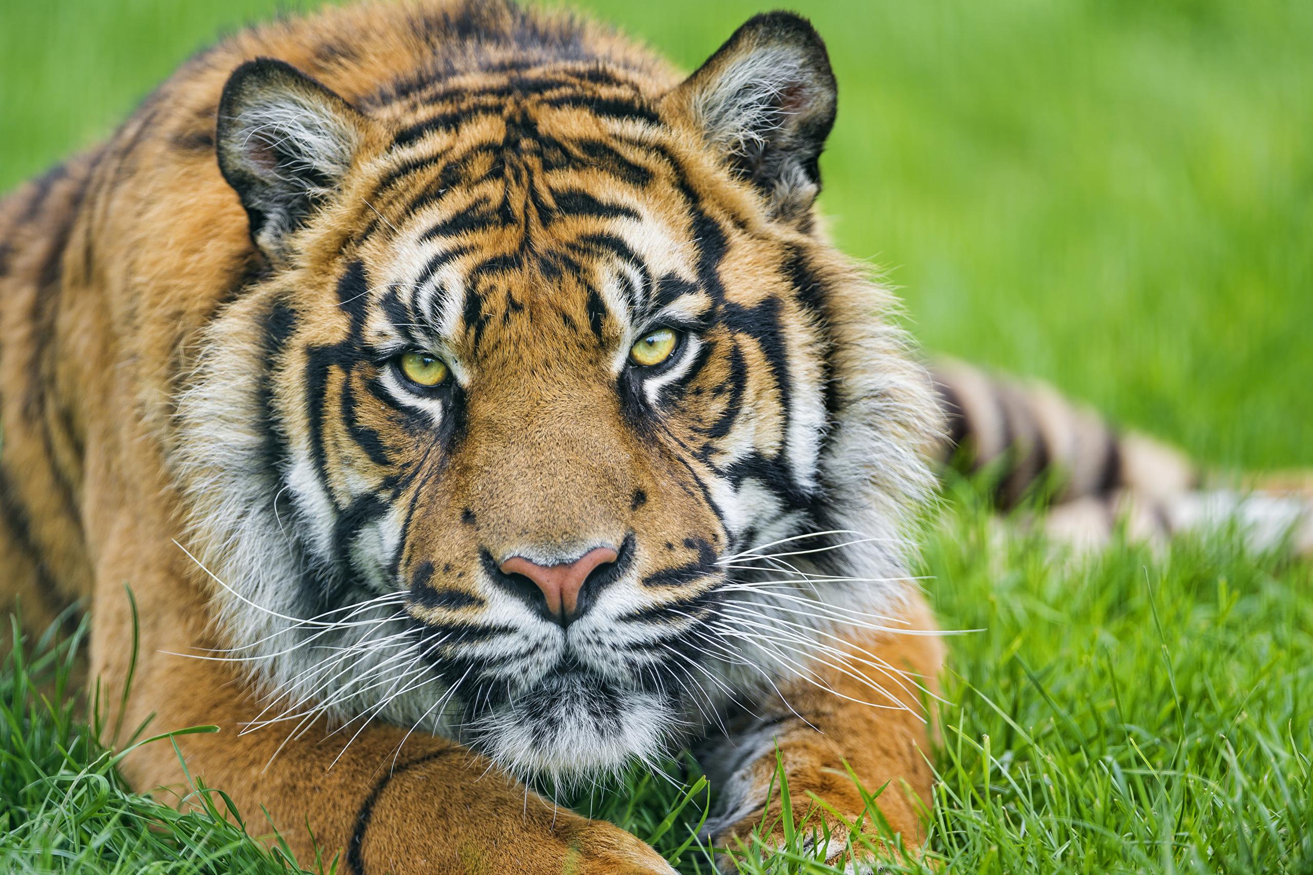 тигры трава природа  № 2011232 загрузить