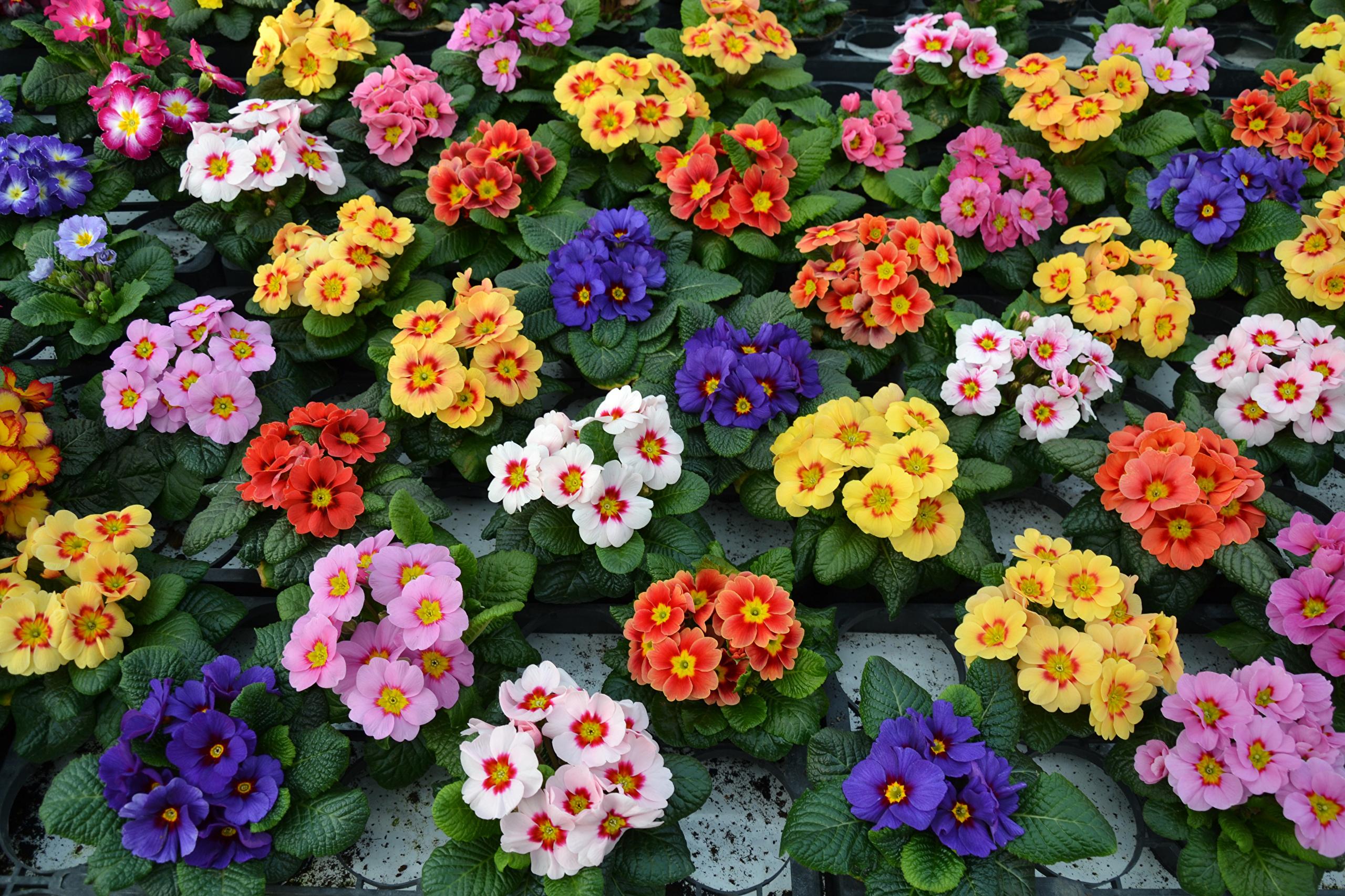 Описание и фото цветов