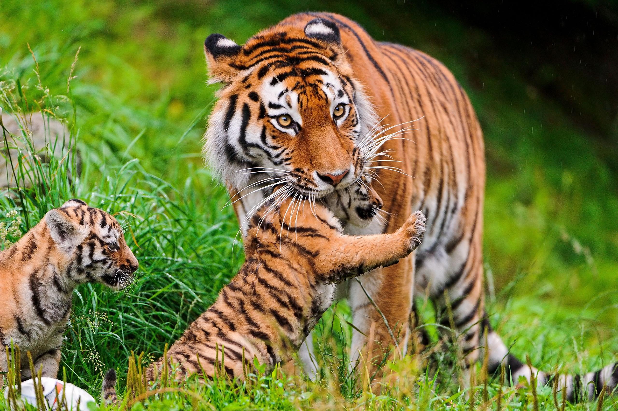 тигры трава природа  № 2011224  скачать