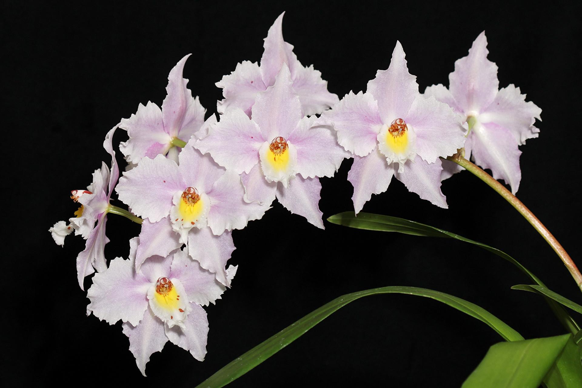Виды пионы цветов с