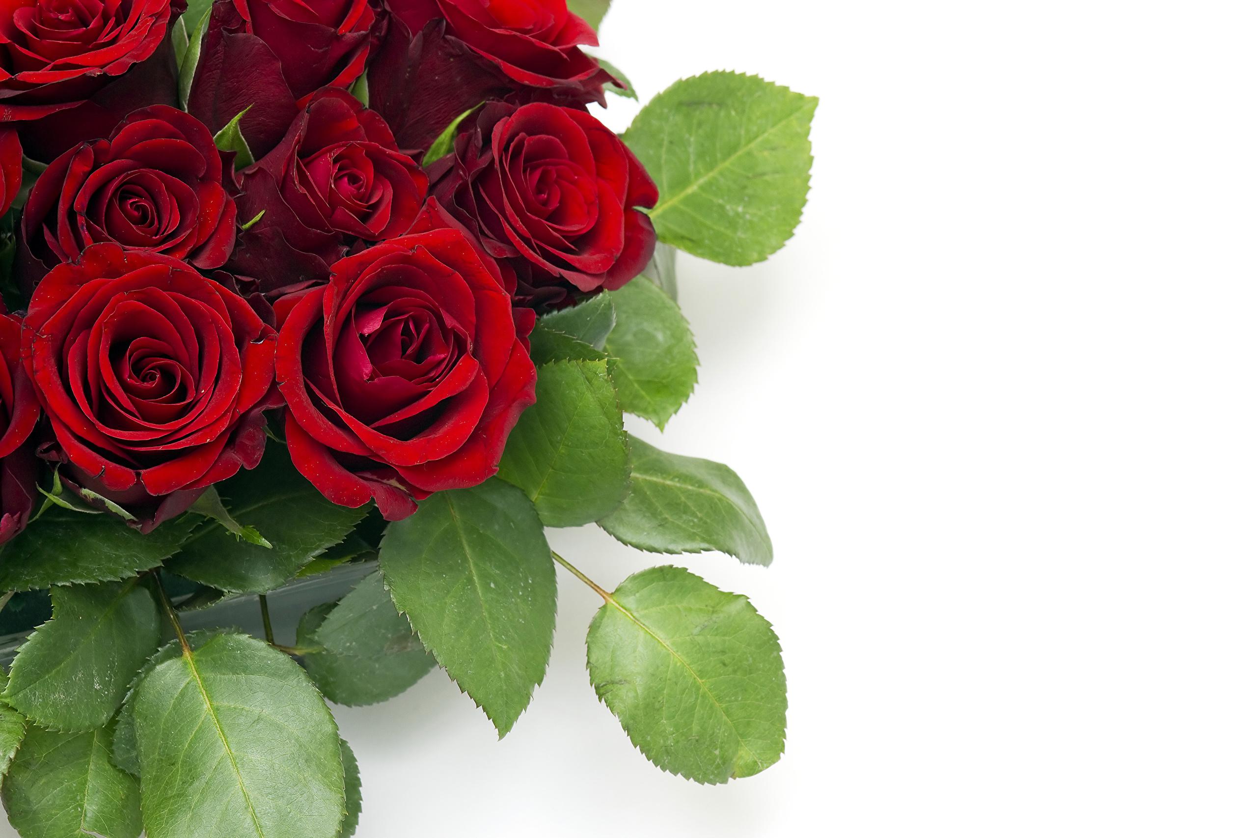Цветы розы для открыток