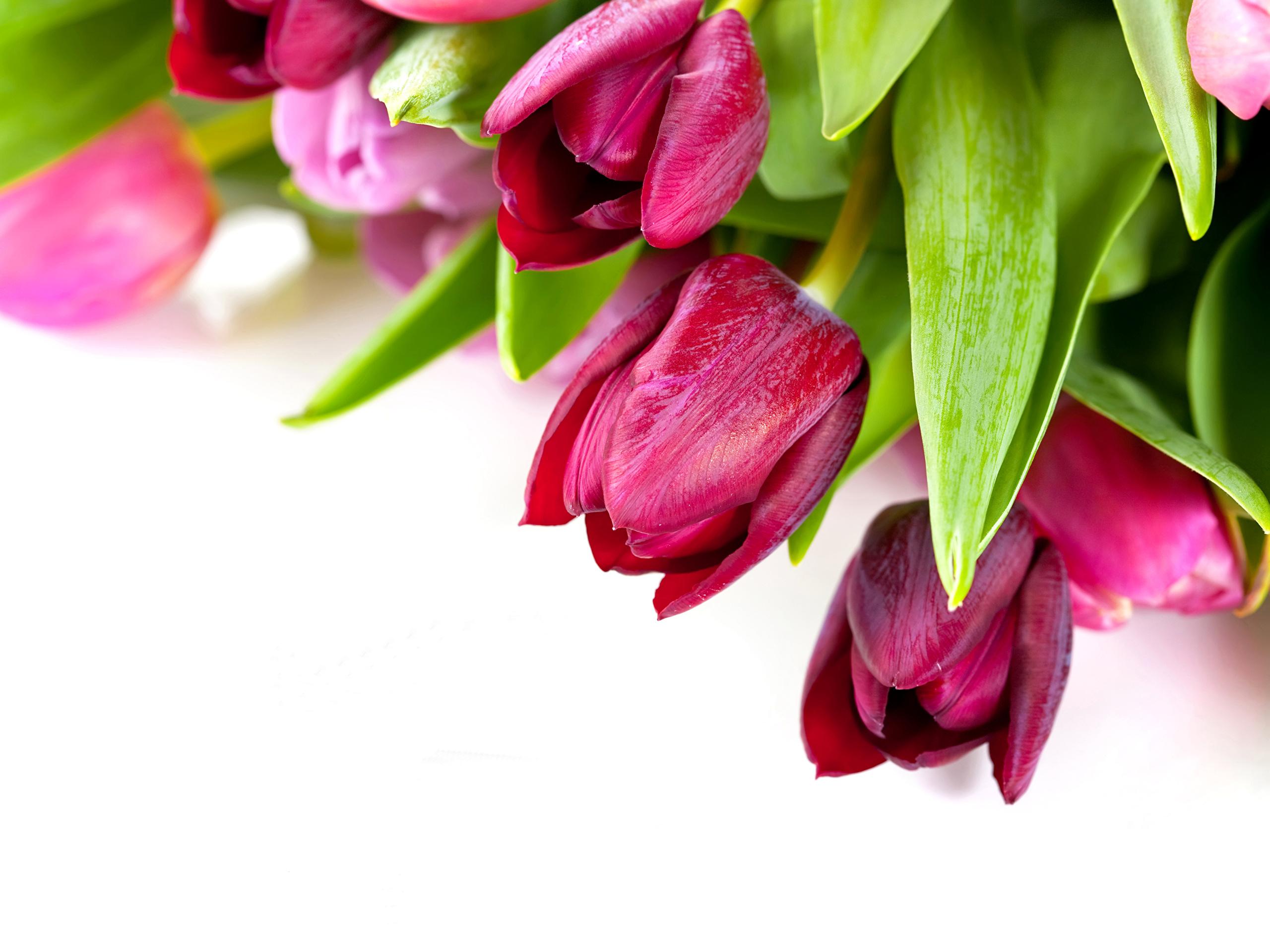 Картинки тюльпаны поздравления