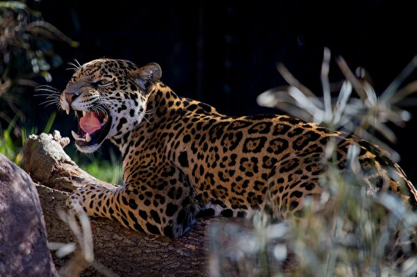 Ягуары обои (171 фото) скачать