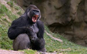 Обои Обезьяны Оскал gorilla Животные