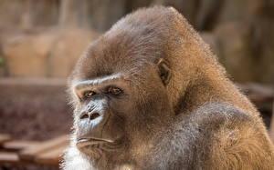 Обои Обезьяны Взгляд Gorilla Животные