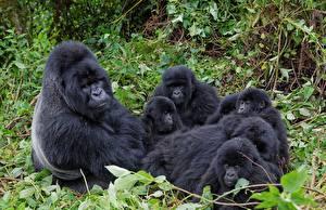 Обои Обезьяны Детеныши Gorilla Животные