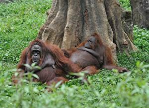 Обои Обезьяны Двое Трава Ствол дерева Pongo Животные