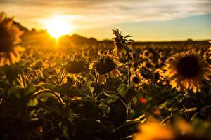 Обои Рассветы и закаты Подсолнухи Поля Цветы Природа