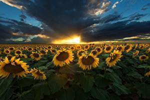 Обои Рассветы и закаты Небо Поля Подсолнухи Облака Природа Цветы