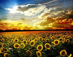 Обои Пейзаж Поля Подсолнухи Небо Рассветы и закаты Облака Природа
