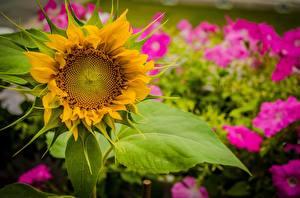 Обои Подсолнухи Крупным планом Цветы