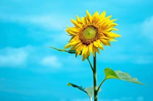 Обои Подсолнухи Небо Цветы