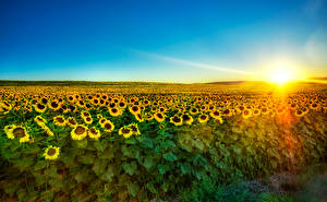 Обои Пейзаж Поля Подсолнухи Рассветы и закаты Лучи света Солнце Природа
