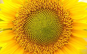 Обои Подсолнухи Крупным планом Желтый Цветы