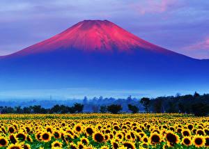 Обои Горы Подсолнухи Поля Япония Рассветы и закаты Вулкан Mount Fuji Природа Цветы