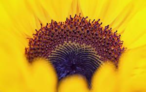 Обои Крупным планом Подсолнухи Цветы