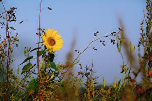 Обои Подсолнухи Небо Трава Цветы