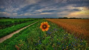 Обои Нидерланды Подсолнухи Небо Поля Трава Groningen, Holland Природа Цветы
