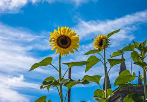 Обои Небо Подсолнухи Облака Цветы