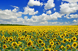 Обои Подсолнухи Поля Небо Облака Цветы Природа
