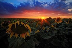 Обои Подсолнухи Рассветы и закаты Небо Поля Облака Цветы