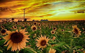 Обои Подсолнухи Рассветы и закаты Поля Небо Цветы фото