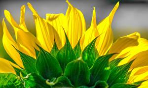 Обои Подсолнухи Лепестки Цветы фото