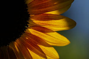 Обои Крупным планом Подсолнухи Цветы фото