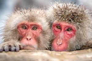 Обои Обезьяны Двое Взгляд Животные фото