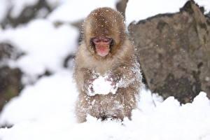 Обои Обезьяны Снег Животные фото