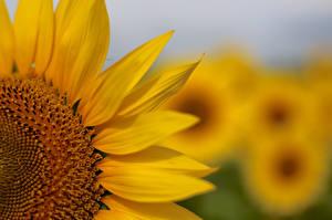 Обои Подсолнухи Крупным планом Желтый Цветы фото