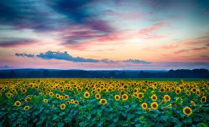 Обои Подсолнухи Поля Небо Цветы фото