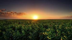 Обои Подсолнухи Рассветы и закаты Поля Природа фото