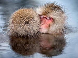Обои Обезьяны Вода Голова Двое Спит Животные фото