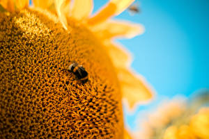 Обои Насекомые Подсолнухи Крупным планом Животные Цветы фото