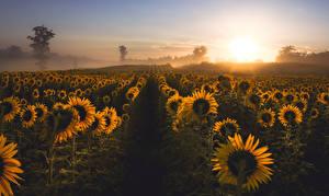 Обои Подсолнухи Поля Туман Природа Цветы фото