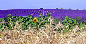 Обои Лаванда Подсолнухи Поля Колос Природа Цветы фото