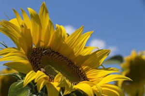 Обои Подсолнухи Пчелы Крупным планом Цветы Животные фото