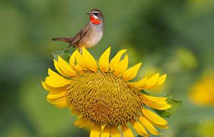 Обои Подсолнухи Птицы Крупным планом Животные Цветы фото