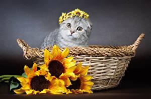 Обои Кошки Подсолнухи Корзинка Животные Цветы фото