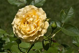 Обои Розы Крупным планом Желтый Листья Цветы картинки