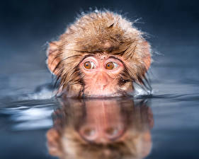 Обои Обезьяны Глаза Вода Животные фото