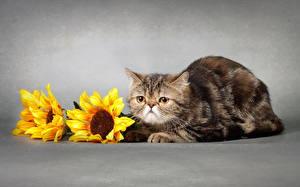 Обои Кошки Подсолнухи Животные фото