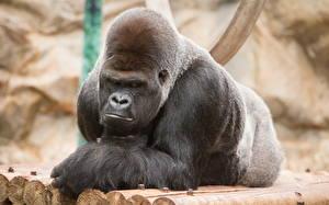 Обои Обезьяны Gorilla Животные фото