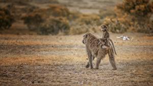 Обои Обезьяны Детеныши Двое Pavian Taxi Maasai Mara Kenya Животные фото
