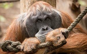 Обои Обезьяны Крупным планом Orangutan Животные фото