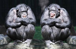 Обои Обезьяны Двое Животные фото