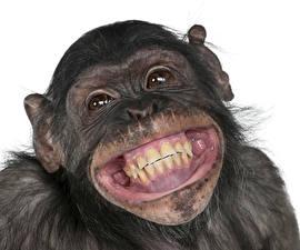 Обои Обезьяны Морда Зубы Улыбка Животные фото